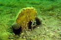 Comptage des grandes nacres Pinna nobilis à Thau les 1er et 2 Mai 2020